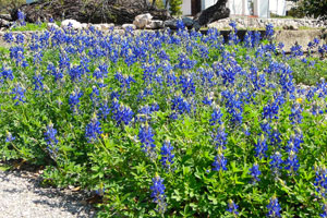 Springtime Bluebonnets at the San Antonio Genealogical and Historical Society in San Antonio, Texas.