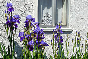 Springtime Irises at the San Antonio Genealogical and Historical Society in San Antonio, Texas